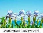 irises flowers on sea... | Shutterstock . vector #1091919971