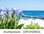 irises flowers on sea... | Shutterstock . vector #1091920031