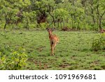 kob in como  national park ...   Shutterstock . vector #1091969681