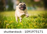 dog  pug  animal  puppy  pet ... | Shutterstock . vector #1091975171
