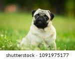 dog  pug  animal  puppy  pet ... | Shutterstock . vector #1091975177