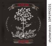 asafoetida aka ferula... | Shutterstock .eps vector #1091993231