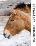 Small photo of Przewalski horse face (Equus ferus przewalskii) with snow background