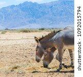 somali wild donkey  equus... | Shutterstock . vector #1092015794