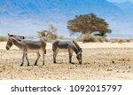 somali wild donkey  equus... | Shutterstock . vector #1092015797