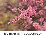 pink cherry blossom | Shutterstock . vector #1092050129
