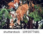 detail of conifer tree in... | Shutterstock . vector #1092077681