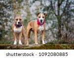 two american staffordshire... | Shutterstock . vector #1092080885