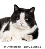 mixed breed cat lying against...   Shutterstock . vector #1092120581