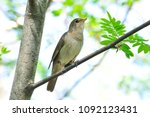thrush nightingale  bird. | Shutterstock . vector #1092123431