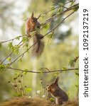 Small photo of squirrel on a rowan berry branches another under