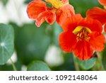 Nasturtium And Garden