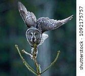 great grey owl  strix nebulosa  ... | Shutterstock . vector #1092175757
