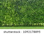 hornbeam hedge in spring ... | Shutterstock . vector #1092178895