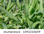 Small photo of Mosquitoes copulate in a green grass
