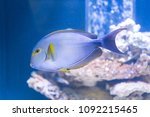 acanthurus xanthopterus  ... | Shutterstock . vector #1092215465