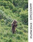 Small photo of Juvenile Kodiak Bear standing tall