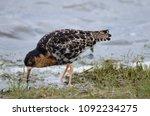 ruff in moult plumage | Shutterstock . vector #1092234275
