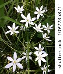 Small photo of Close up of White Rain Lily (Zephyranthes Candida) flowers.