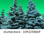 beautiful tall conifer trees...   Shutterstock . vector #1092258869