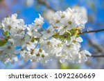 springtime blossom  twig with... | Shutterstock . vector #1092260669