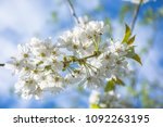 springtime blossom  twig with... | Shutterstock . vector #1092263195