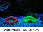 lps coral in saltwater reef... | Shutterstock . vector #1092314699