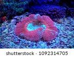 lps coral in saltwater reef... | Shutterstock . vector #1092314705