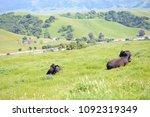 herd of cows in green field | Shutterstock . vector #1092319349