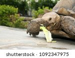 african spurred tortoise. close ... | Shutterstock . vector #1092347975