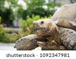 african spurred tortoise. close ... | Shutterstock . vector #1092347981