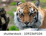 Beautiful Tiger Portrait - Fine Art prints