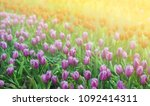 tulips  purple and red in a... | Shutterstock . vector #1092414311