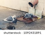 Small photo of Two pigeons take spring baths, bathe in a drain.