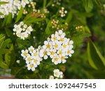 spiraea cinerea 'grefsheim' ... | Shutterstock . vector #1092447545