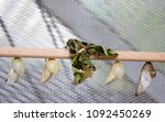 daphnis nerii  the oleander... | Shutterstock . vector #1092450269
