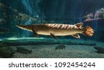 This spectacular Alligator gar (Atractosteus spatula) swims in the freshwater with sunlight rays shining on its body.