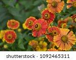 helenium konigstiger. helenium. ...   Shutterstock . vector #1092465311