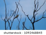 merops apiaster stay from a... | Shutterstock . vector #1092468845
