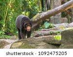 biruang or malayan bear walking ... | Shutterstock . vector #1092475205