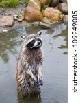 Small photo of Common raccoon or Procyon lotor standing in water
