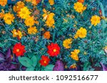 Marigold And Daisy Flowers See...