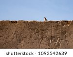 nightingale bird on a old... | Shutterstock . vector #1092542639