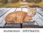 Beautiful Ginger Tabby Cat Wit...