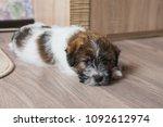 jack russell terrier puppy... | Shutterstock . vector #1092612974