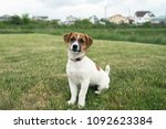 puppy jack russell is sitting... | Shutterstock . vector #1092623384