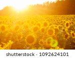 Sunflower Field At Sunset....