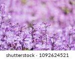 plectranthus mona lavender... | Shutterstock . vector #1092624521