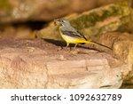 gray wagtail   motacilla cinerea | Shutterstock . vector #1092632789