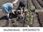 planting seedlings in the garden | Shutterstock . vector #1092640274